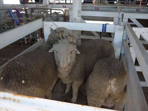 Prime Sheep