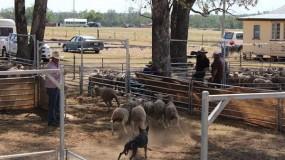 Yard Dog Trials 2015