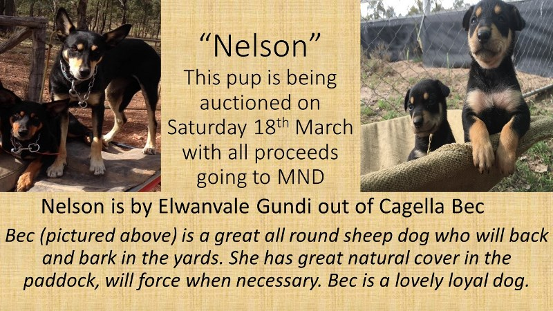 Nelson Pup Auctioned